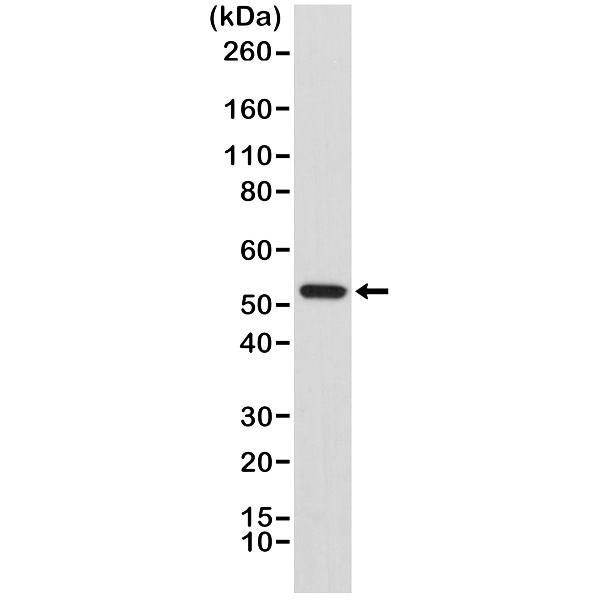 Anti Cyclin B1 Antibody, clone RM281 thumbnail image 1