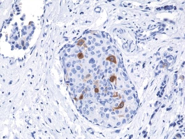 Anti Cyclin B1 Antibody, clone RM281 thumbnail image 2