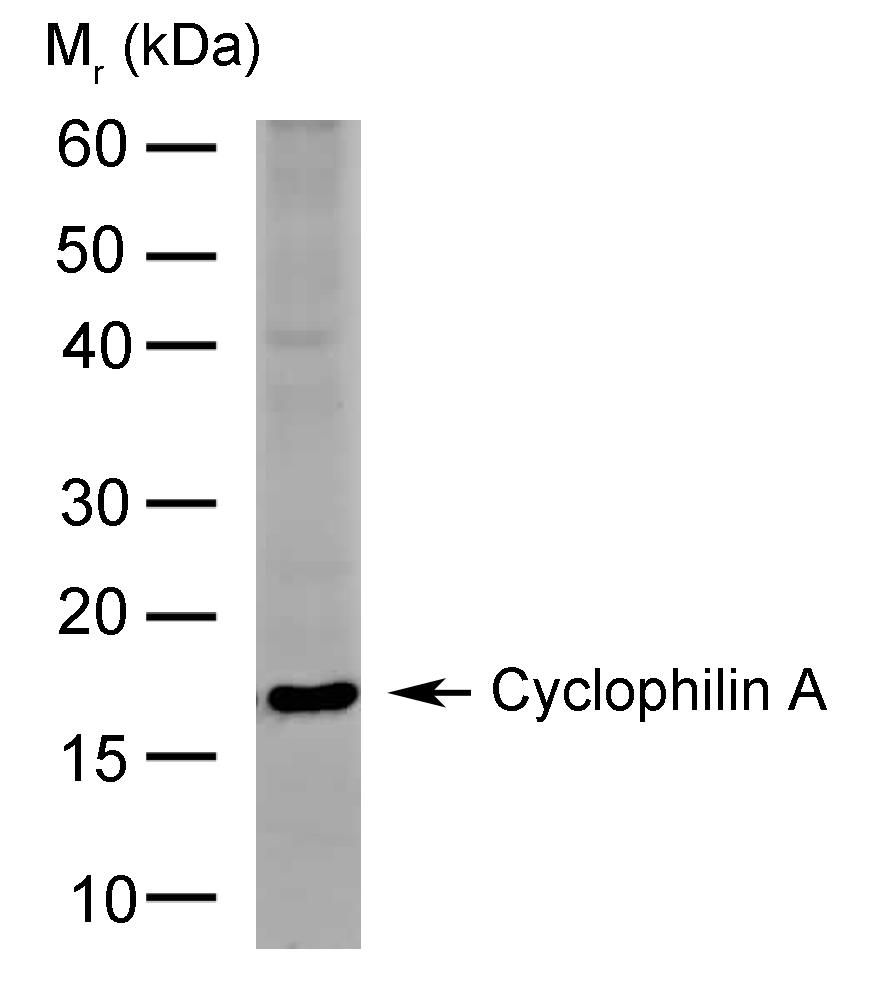 Anti Cyclophilin A Antibody, clone AbD00794 thumbnail image 1