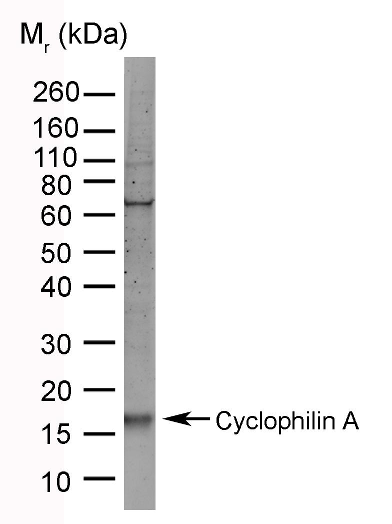 Anti Cyclophilin A Antibody, clone AbD00794 thumbnail image 2