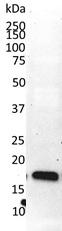 Anti Cyclophilin A Antibody, clone AbD00794 thumbnail image 3