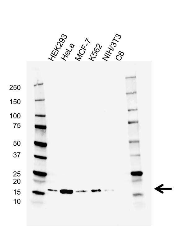 Anti Cyclophylin A Antibody, clone AB03/1C10 (PrecisionAb™ Monoclonal Antibody) gallery image 1