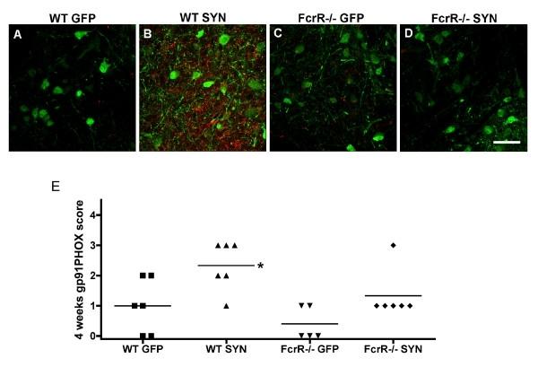 Anti Human Cytochrome B245 Heavy Chain Antibody, clone NL7 thumbnail image 2