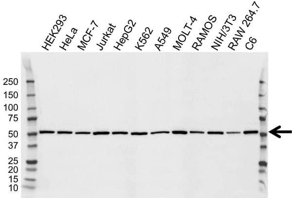 Anti Cytochrome P450 2B6 Antibody, clone OTI3D5 (PrecisionAb Monoclonal Antibody) gallery image 1