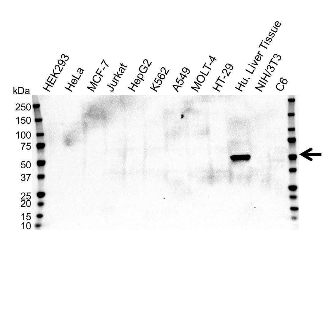 Anti Cytochrome P450 2E1 Antibody, clone OTI5F11 (PrecisionAb™ Monoclonal Antibody) gallery image 1