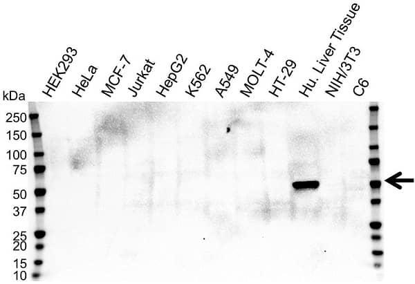 Anti Cytochrome P450 2E1 Antibody, clone OTI5F11 (PrecisionAb Monoclonal Antibody) gallery image 1