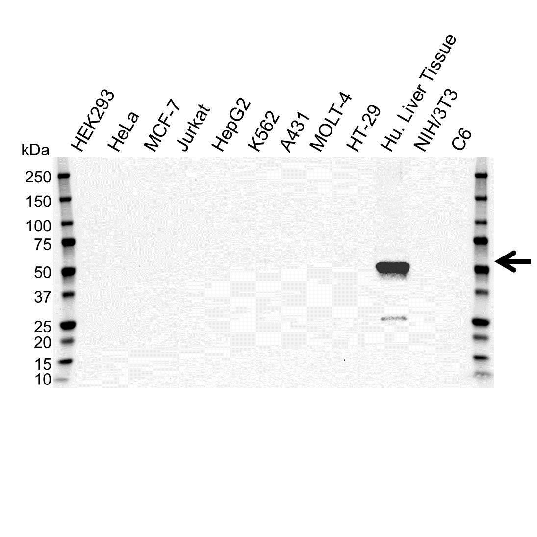 Anti Cytochrome P450 3A4 Antibody (PrecisionAb Monoclonal Antibody) gallery image 1
