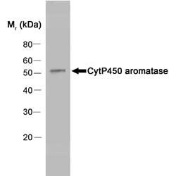 Anti Human Cytochrome P450 Aromatase Antibody, clone H4 thumbnail image 1