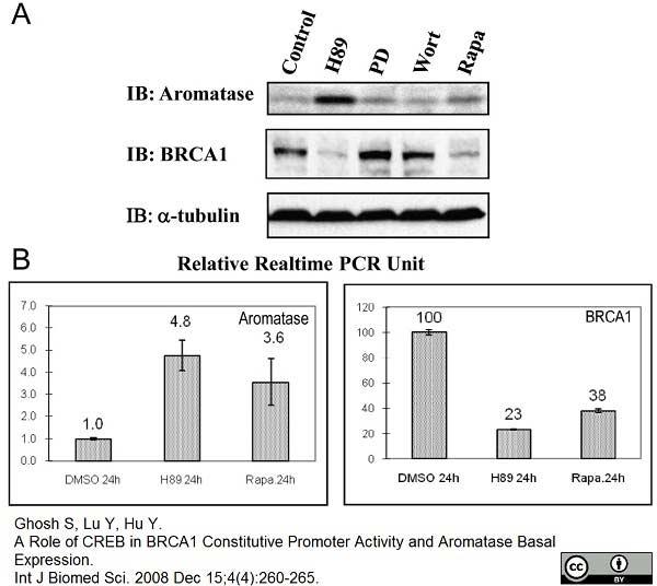 Anti Human Cytochrome P450 Aromatase Antibody, clone H4 thumbnail image 2