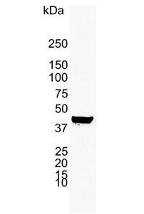 Anti Human Cytokeratin 19 Antibody, clone A53-B/A2 thumbnail image 2