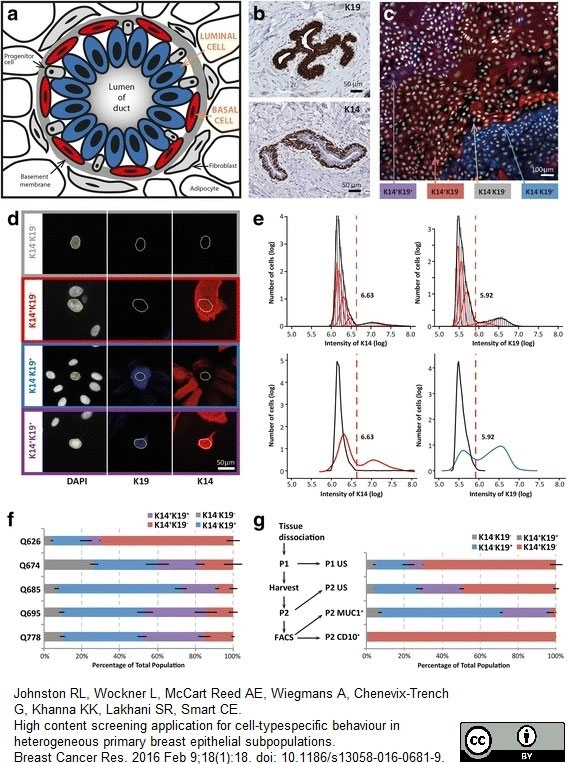 Anti Human Cytokeratin 19 Antibody, clone A53-B/A2 thumbnail image 4
