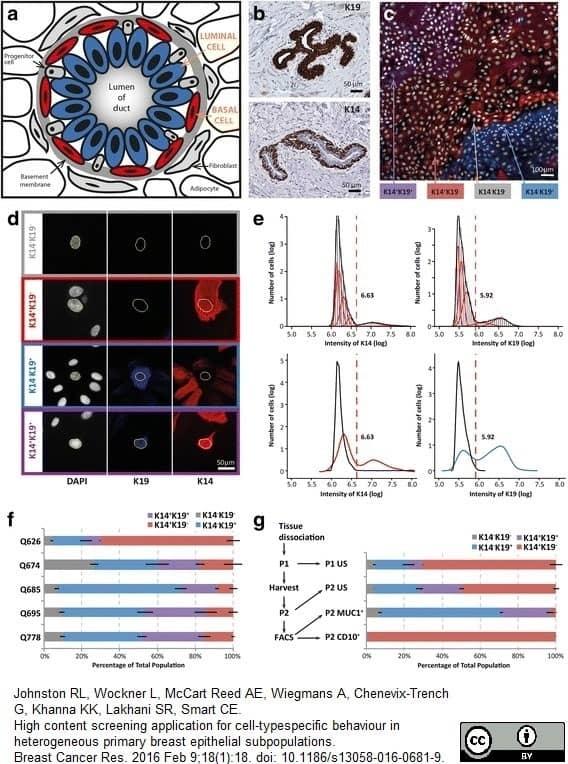 Anti Human Cytokeratin 19 Antibody, clone A53-B/A2 thumbnail image 5