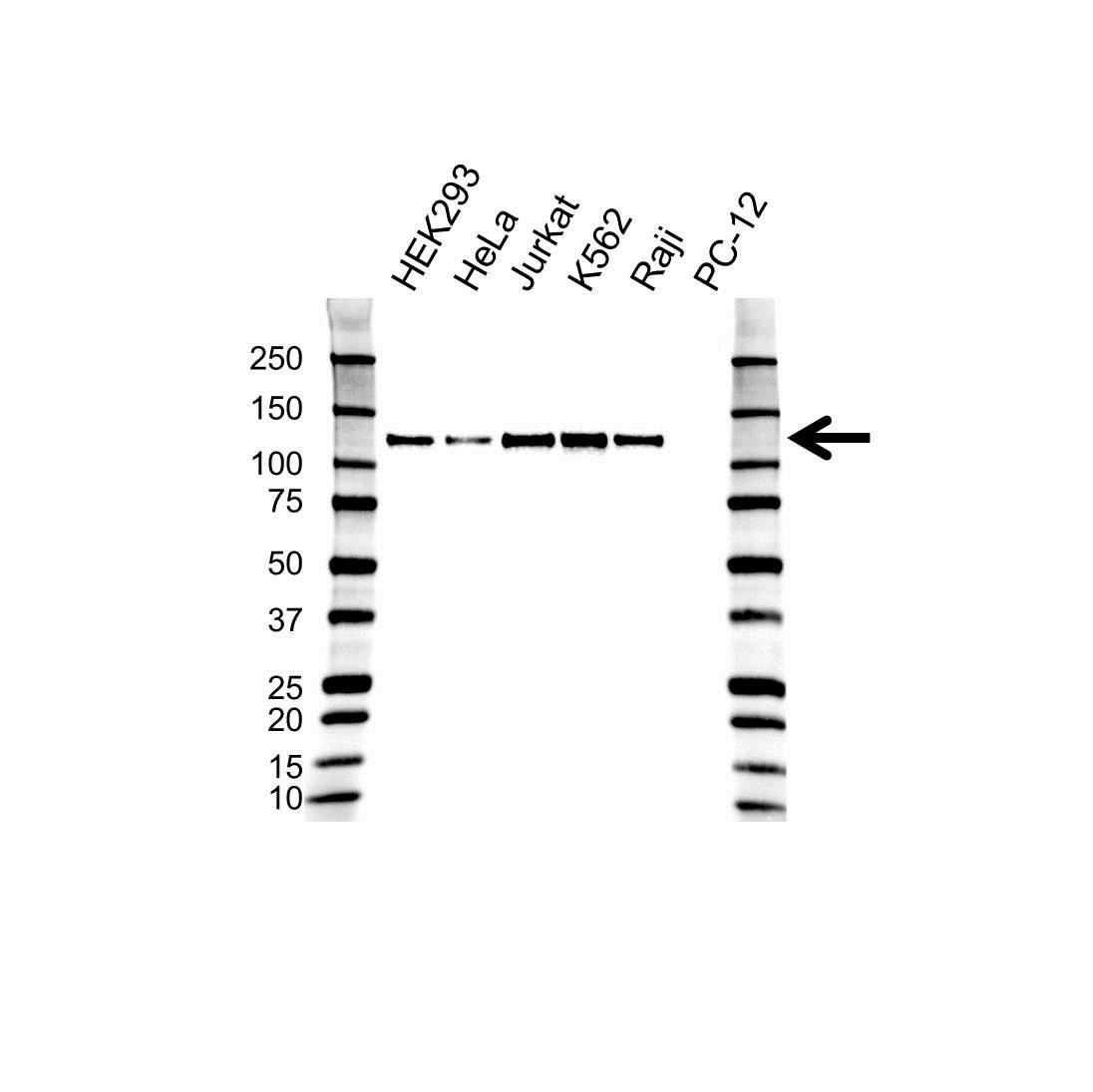 Anti DAXX Antibody (PrecisionAb™ Monoclonal Antibody) gallery image 1