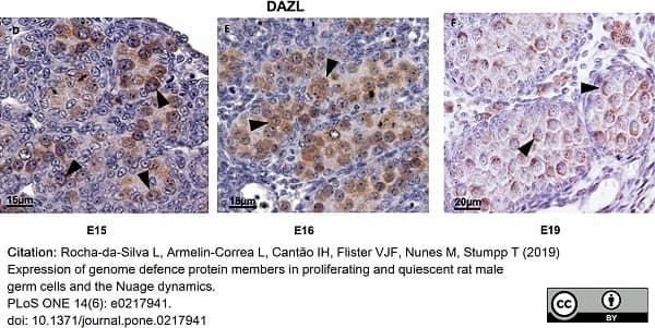 Anti DAZL Antibody, clone 3/11A thumbnail image 11