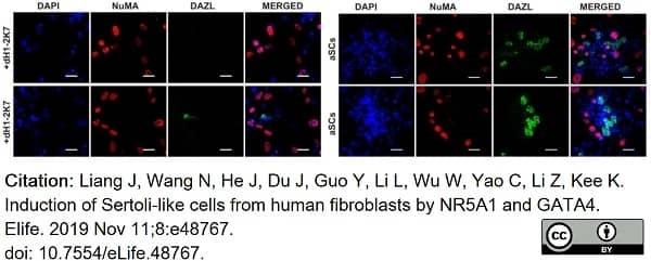 Anti DAZL Antibody, clone 3/11A thumbnail image 12