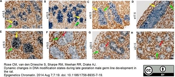 Anti DAZL Antibody, clone 3/11A thumbnail image 3