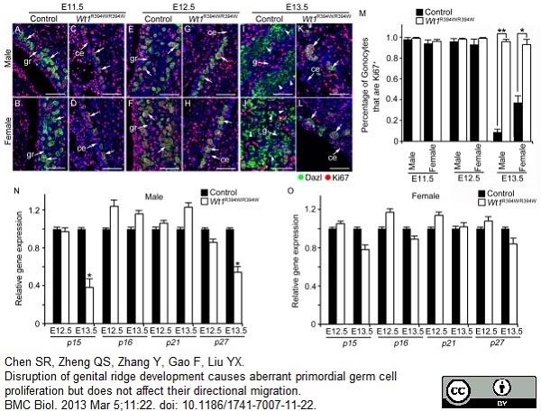 Anti DAZL Antibody, clone 3/11A thumbnail image 4