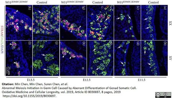 Anti DAZL Antibody, clone 3/11A thumbnail image 7