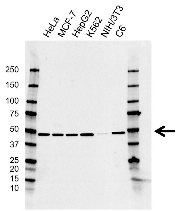 Anti DDX48 Antibody, clone AB02/3F4 (PrecisionAb Monoclonal Antibody) gallery image 1