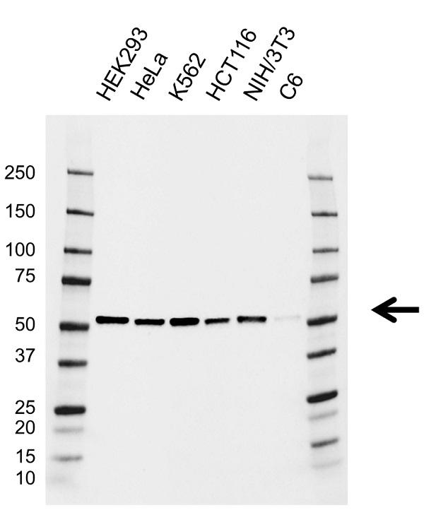 Anti Dek Antibody, clone AB02/2G4 (PrecisionAb Monoclonal Antibody) gallery image 1