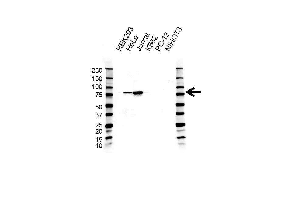 Anti Diacylglycerol Kinase Alpha Antibody (PrecisionAb™ Monoclonal Antibody) gallery image 1