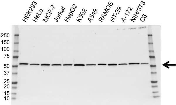 Anti DLD Antibody, clone OTI6D5 (PrecisionAb Monoclonal Antibody) gallery image 1