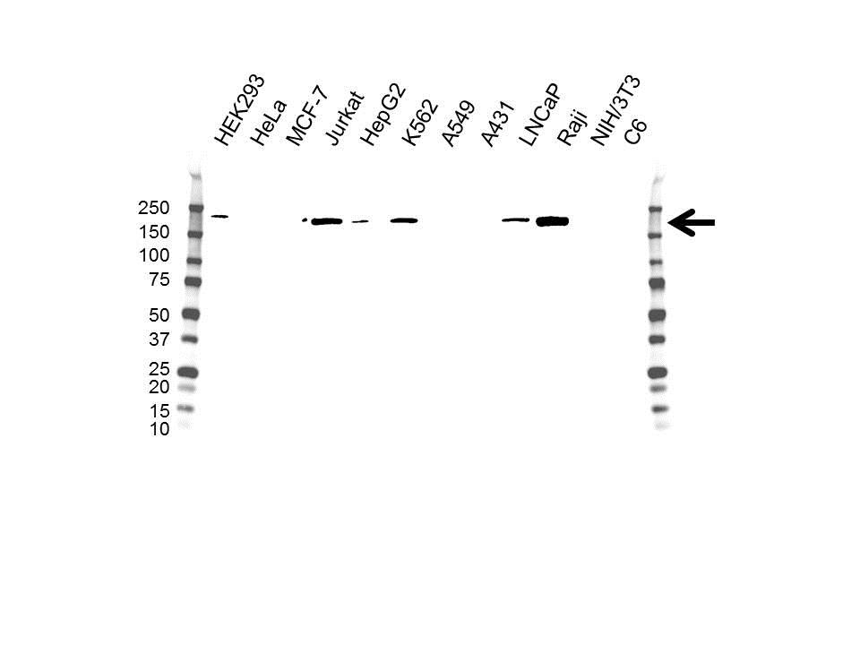 Anti DNA Methyltransferase 1 Antibody, clone 7C11A2 (PrecisionAb Monoclonal Antibody) thumbnail image 1