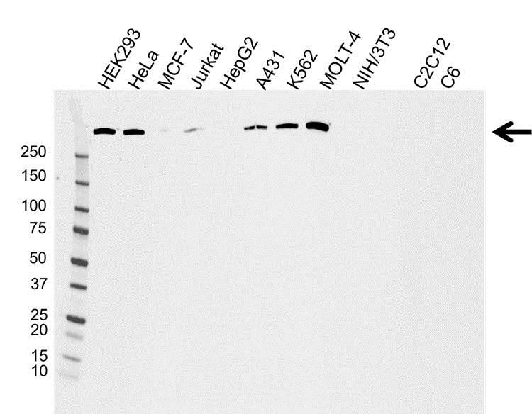 Anti DNA PKcs Antibody (PrecisionAb Monoclonal Antibody) gallery image 1