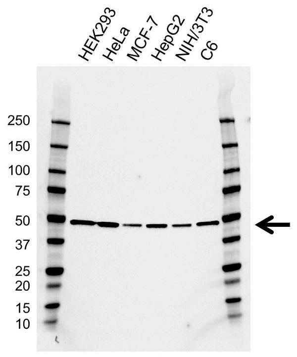 Anti DNAJA1 Antibody, clone AB01/4A12 (PrecisionAb Monoclonal Antibody) gallery image 1
