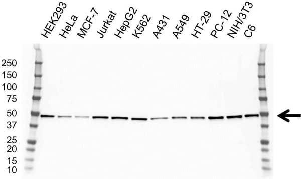 Anti DNAJA2 Antibody, clone OTI3A11 (PrecisionAb Monoclonal Antibody) gallery image 1