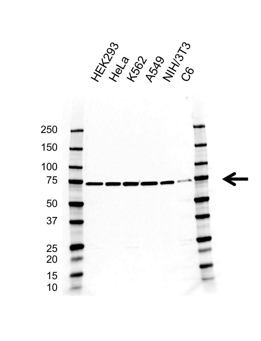 Anti Dynamin 1 Like Antibody, clone AB01/3A6 (PrecisionAb Monoclonal Antibody) gallery image 1