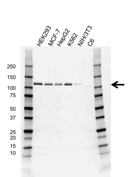 Anti E3 UBIQUITIN-PROTEIN Ligase CBL Antibody (PrecisionAb™ Monoclonal Antibody) gallery image 1