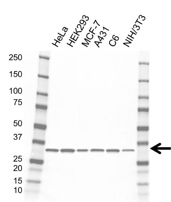 Anti EB1 Antibody, clone AB03/4B6 (PrecisionAb Monoclonal Antibody) gallery image 1