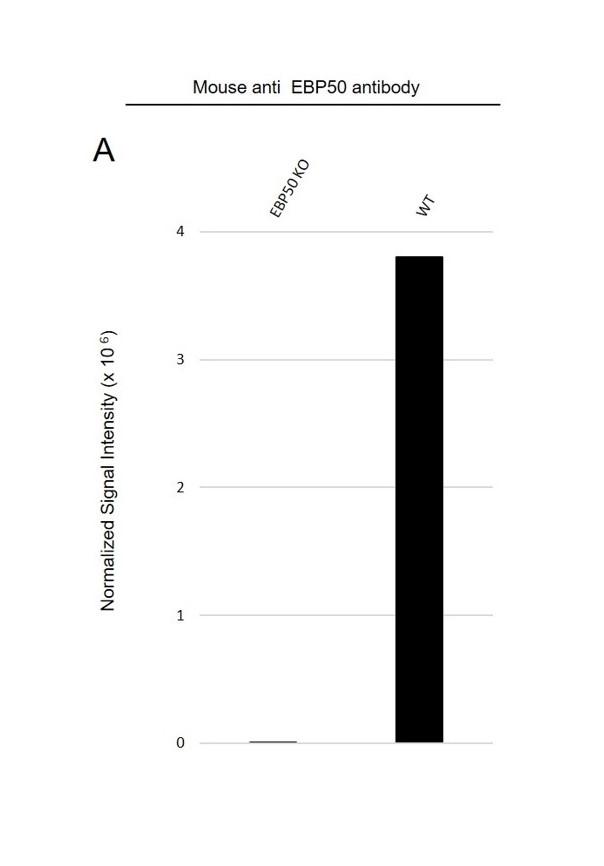 Anti EBP50 Antibody, clone EBP-10 (PrecisionAb Monoclonal Antibody) thumbnail image 3