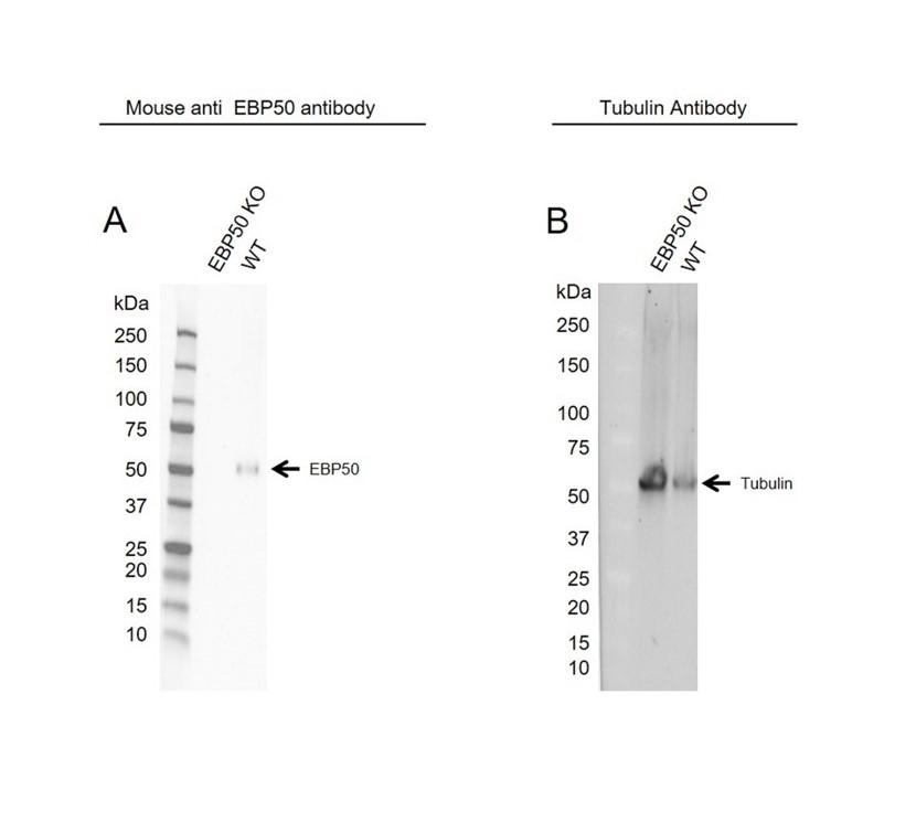 Anti EBP50 Antibody (PrecisionAb Monoclonal Antibody) thumbnail image 2