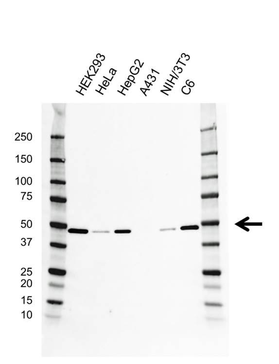 Anti eEF1A1 Antibody (PrecisionAb™ Monoclonal Antibody) gallery image 1