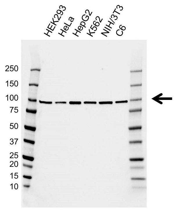 Anti EEF2 Antibody, clone AB02/1A11 (PrecisionAb Monoclonal Antibody) gallery image 1
