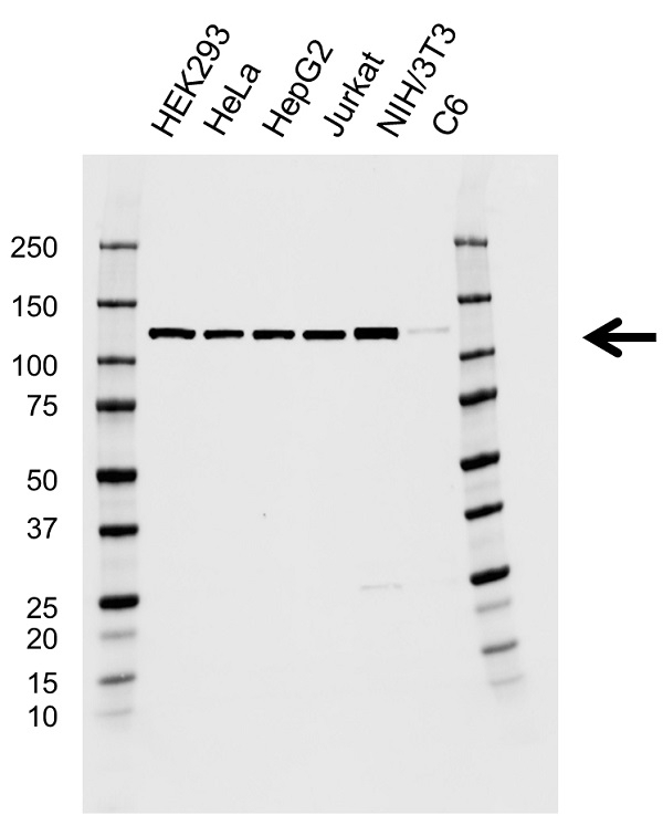 Anti EFTUD2 Antibody, clone AB03/1B9 (PrecisionAb Monoclonal Antibody) thumbnail image 1