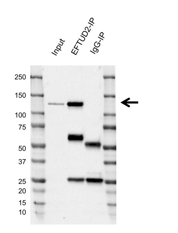 Anti EFTUD2 Antibody, clone AB03/1B9 (PrecisionAb Monoclonal Antibody) thumbnail image 2