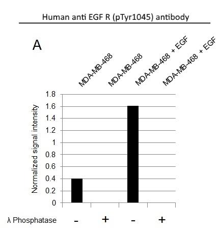 Anti EGF R (pTyr1045) Antibody, clone AbD30783 (PrecisionAb Monoclonal Antibody) thumbnail image 2