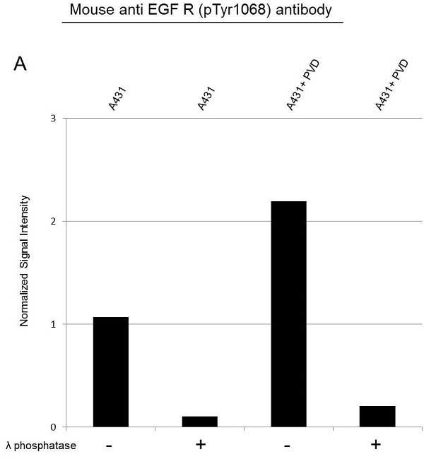 Anti EGF Receptor (pTyr1068) Antibody (PrecisionAb™ Monoclonal Antibody) thumbnail image 2
