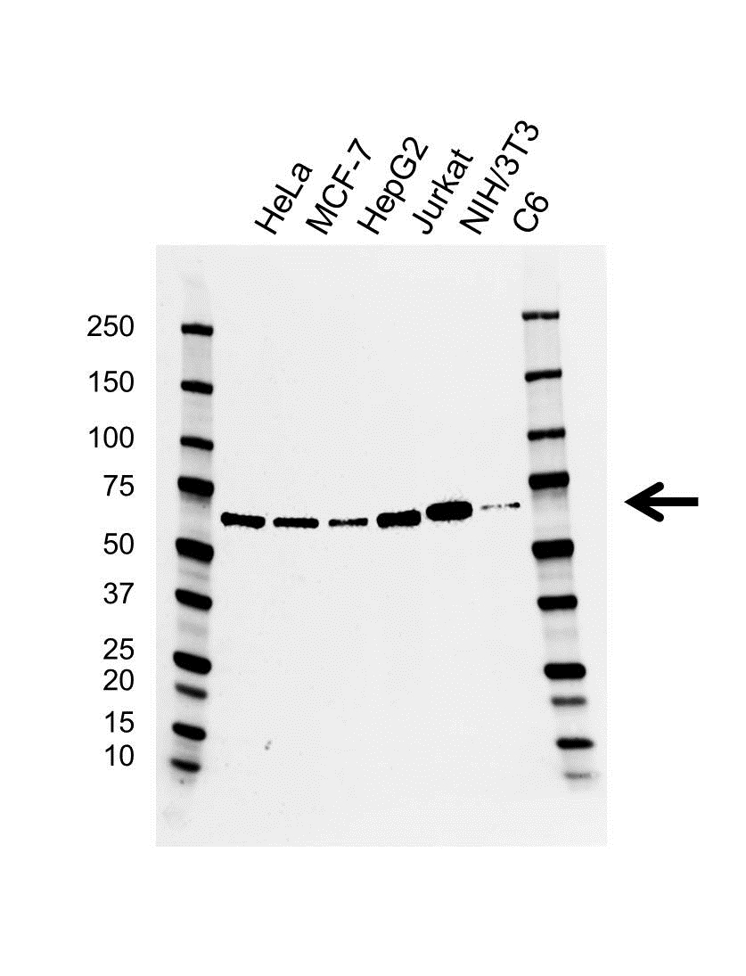 Anti EIF2A Antibody, clone CD02/2H5 (PrecisionAb™ Monoclonal Antibody) gallery image 1