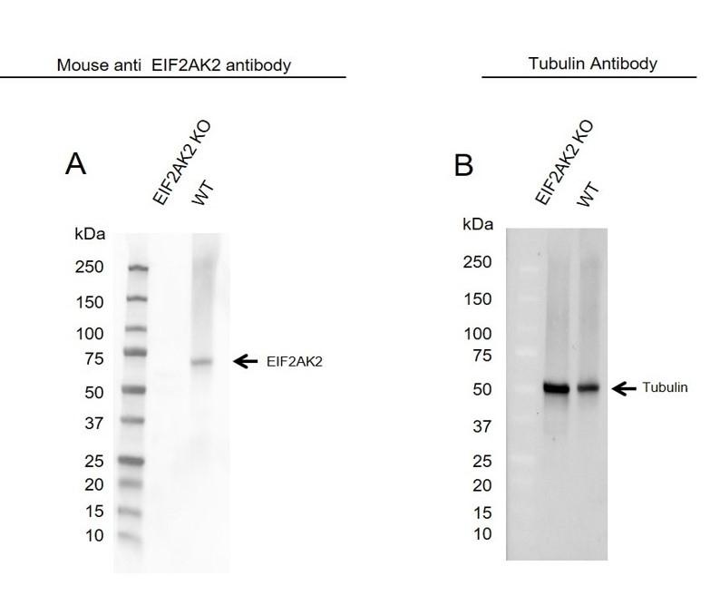 Anti EIF2AK2 Antibody, clone 1441CT628.33.40 (PrecisionAb Monoclonal Antibody) thumbnail image 2