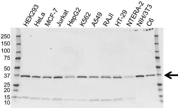 Anti EIF2S1 Antibody, clone OTI3H4 (PrecisionAb Monoclonal Antibody) gallery image 1
