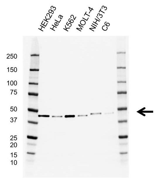 Anti EIF3G Antibody, clone AB05/3H10 (PrecisionAb Monoclonal Antibody) gallery image 1