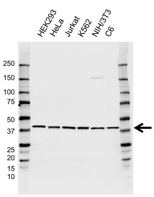 Anti EIF3H Antibody, clone AB04/3F5 (PrecisionAb Monoclonal Antibody) thumbnail image 1