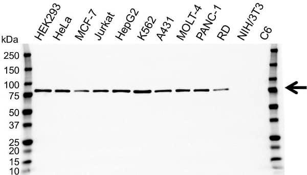 Anti EIF4B Antibody (PrecisionAb Monoclonal Antibody) gallery image 1