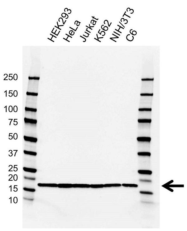 Anti EIF5A Antibody, clone AB01/2G8 (PrecisionAb Monoclonal Antibody) gallery image 1