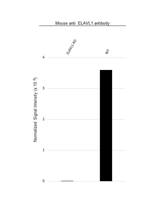 Anti ELAVL1 Antibody, clone 224CT6.5.3 (PrecisionAb Monoclonal Antibody) thumbnail image 3