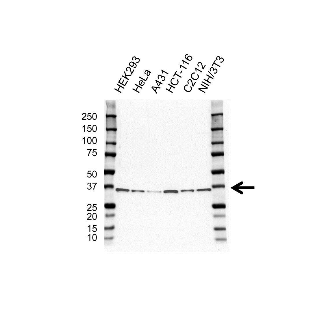 Anti ELAVL1 Antibody (PrecisionAb Monoclonal Antibody) gallery image 1